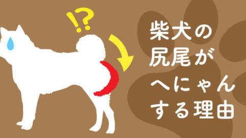 突然へにゃん…柴犬の尻尾が突然立たなくなった原因|スタジオ・ボウズ|京阪神で活動するフリーランスデザイナー