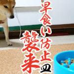 【柴犬】最近早食いすぎるので「早食い防止食器」を導入してみた