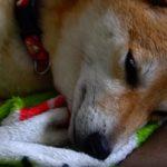 ただひたすら柴犬の寝顔の動画